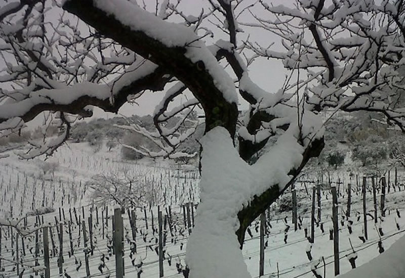Wineyard Winter